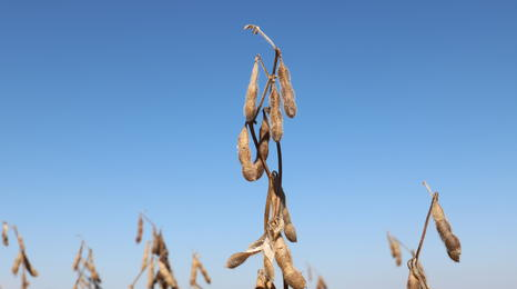 mature soybean plant against sky