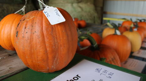 Pumpkins studied for state pumpkin trial