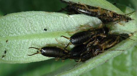 Several black insects with two antennae-like structures