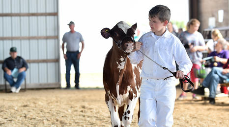 boy leading his cow