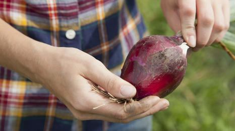 Person holding freshly harvested onion.