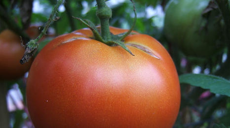 Closeup of a large tomato.