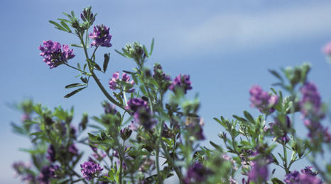 Close up of alfalfa plant in bloom.