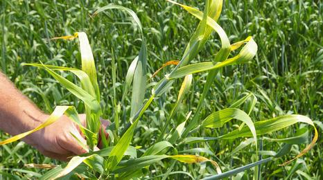barley plant infected with barley yellow dwarf virus