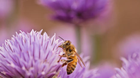 Honey bee on a chive flower.