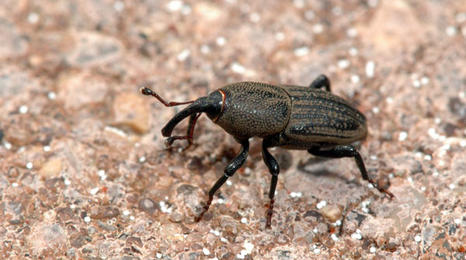 dark colored beetle with a pointed head on dirt