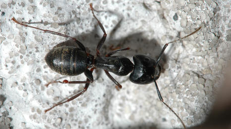 Large black ant on concrete