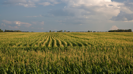 Field with mature corn.
