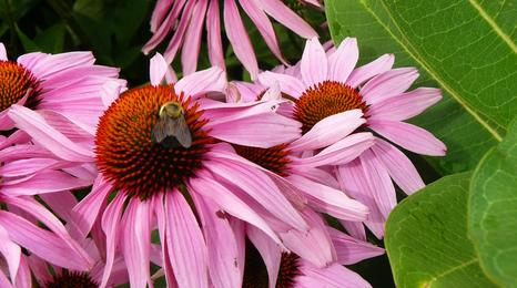 closeup of echinacea flowers with a bee on one of the flowers
