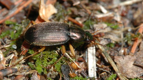 A metallic brown beetle with several lines on its back