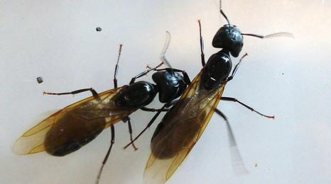 Two winged carpenter ants