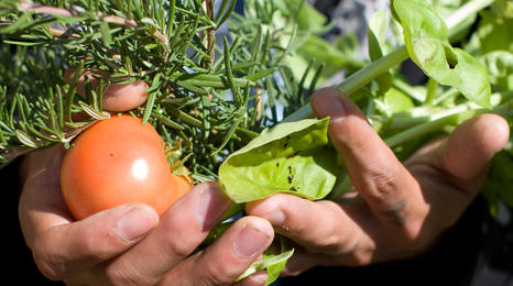 hands full of tomatoes, lettuce and herbs