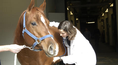 veterinarian listening to a horse's chest with a stethescope