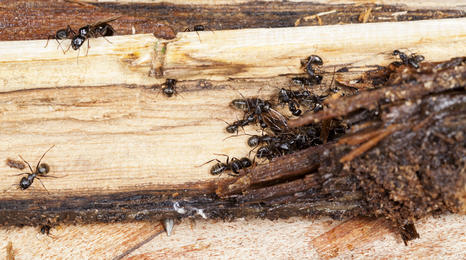 close-up of termites eating wood, presumably in a home