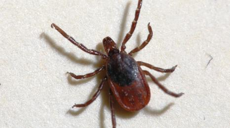 Blacklegged tick.