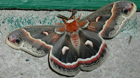 A brown moth with red and black patterns on the wings