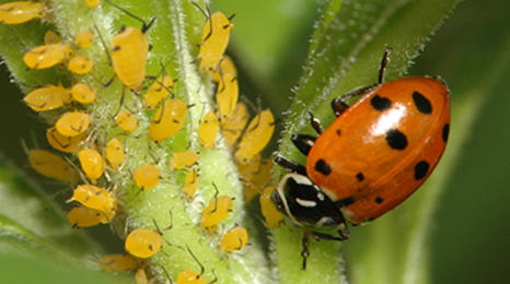 A red ladybeetle with black spots feeding on tiny yellow aphids