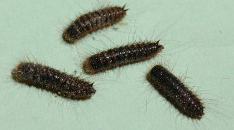 four brown worm-like larvae with many hair-like legs all around their bodies on a green background