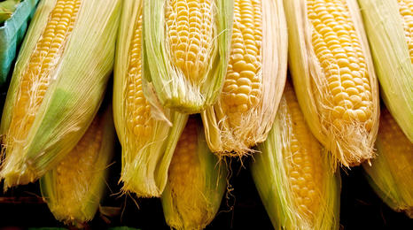 Ears of sweet corn in a pile.