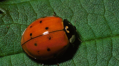 An orange beetle with a black head and a few faint black spots