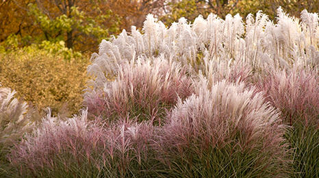 Ornamental grasses on the edge of a wooded area.