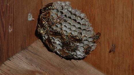 wasp nest wedged in the corner of a wooden box