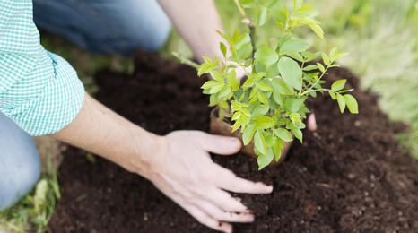 Close up of a pair of hands planting a tree seedling in the ground.