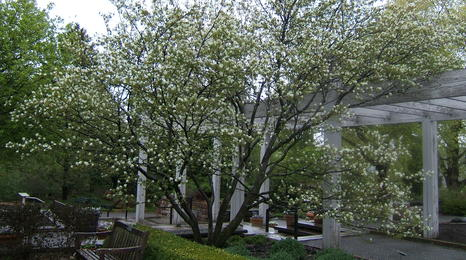 Serviceberry tree with flowers.