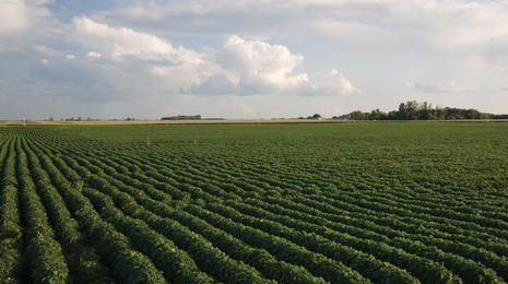 Soybean field.