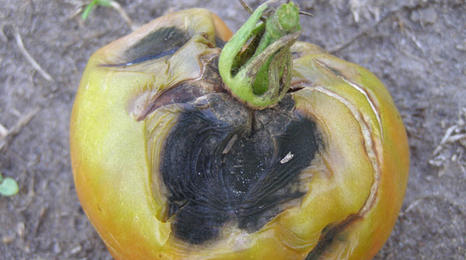 Tomato with symptoms of early blight.