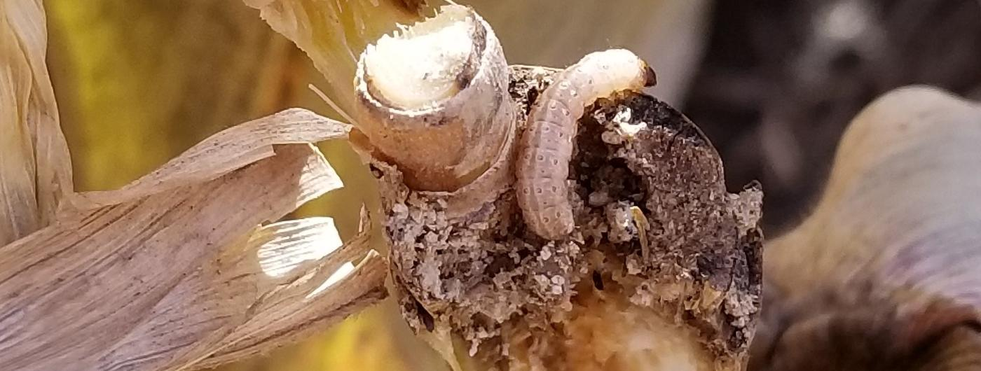 European corn borer on corn stalk