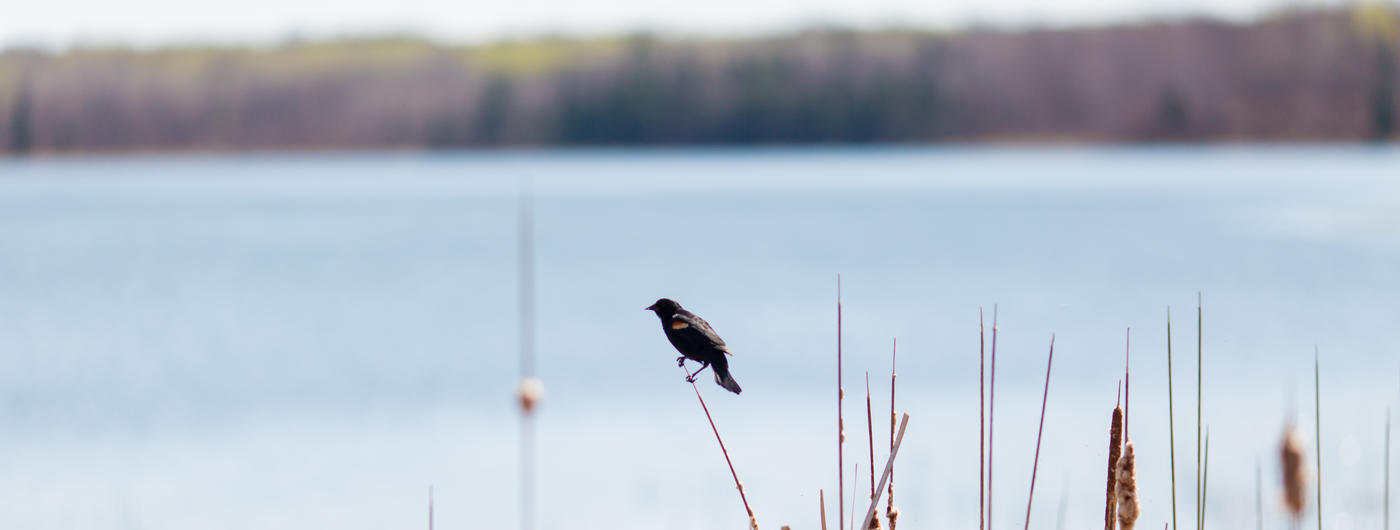 Bird perched on golden grass on the side of a lake.
