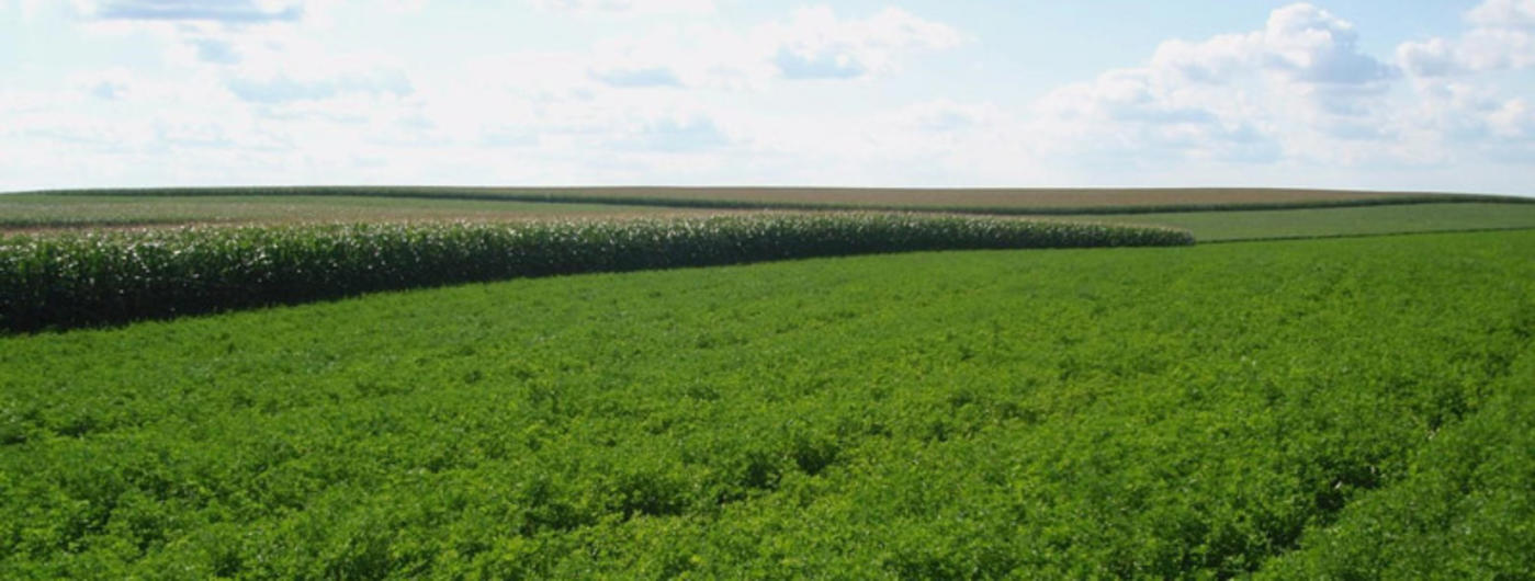 Alfalfa field with corn in the back.