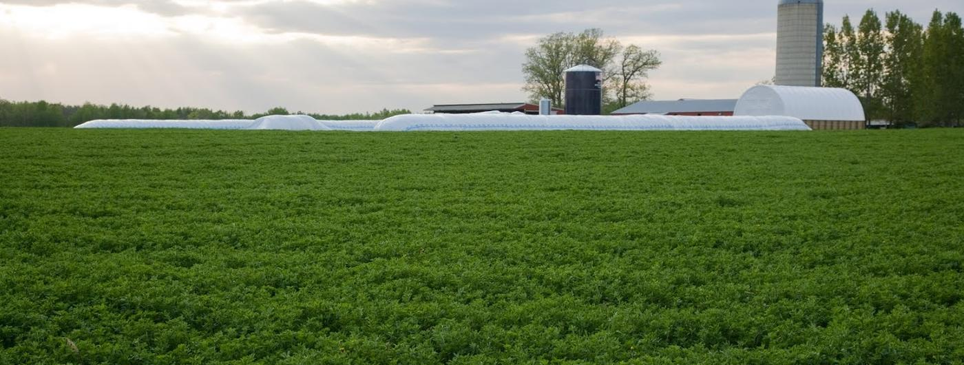 alfalfa field and silage bag