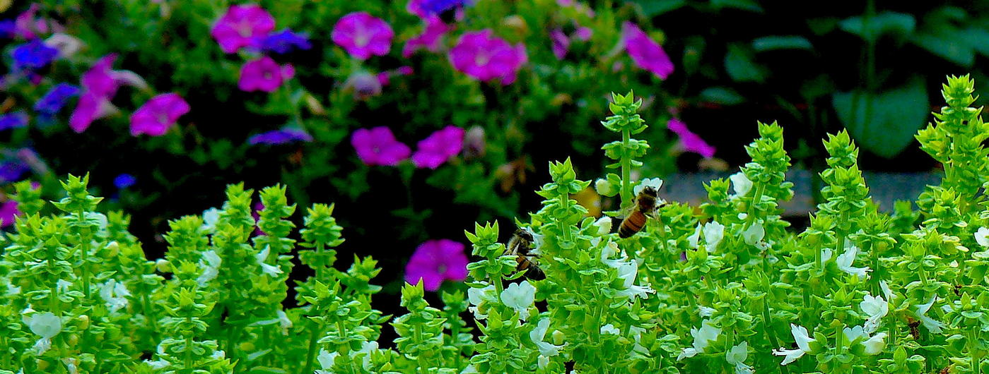 bees hovering over flowers of greek basil plants and petunias in a garden