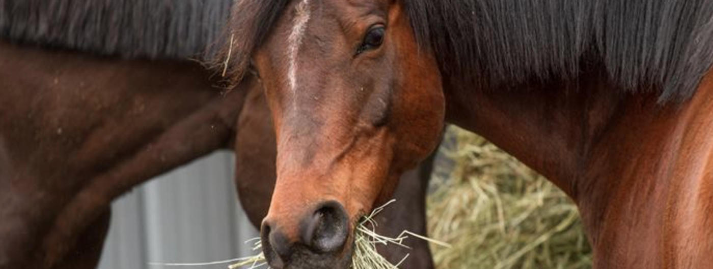 Horse with hay in its mouth.