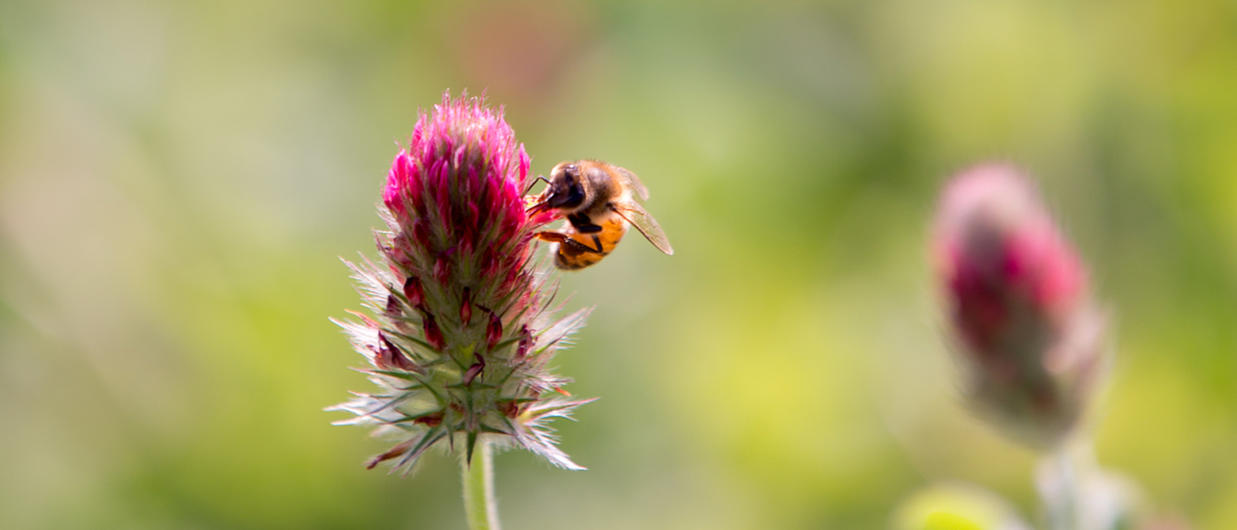 Bee on a red clover flower.
