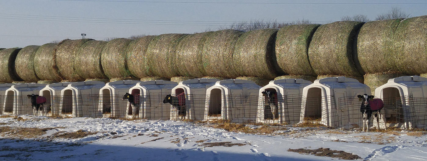 Calves in hutches in a row in the winter
