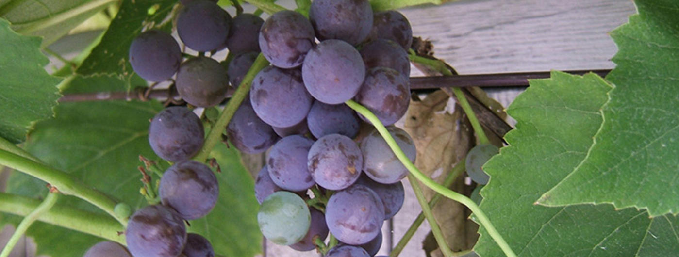 Tips for gardeners and gardeners: how to cut grapes in spring
