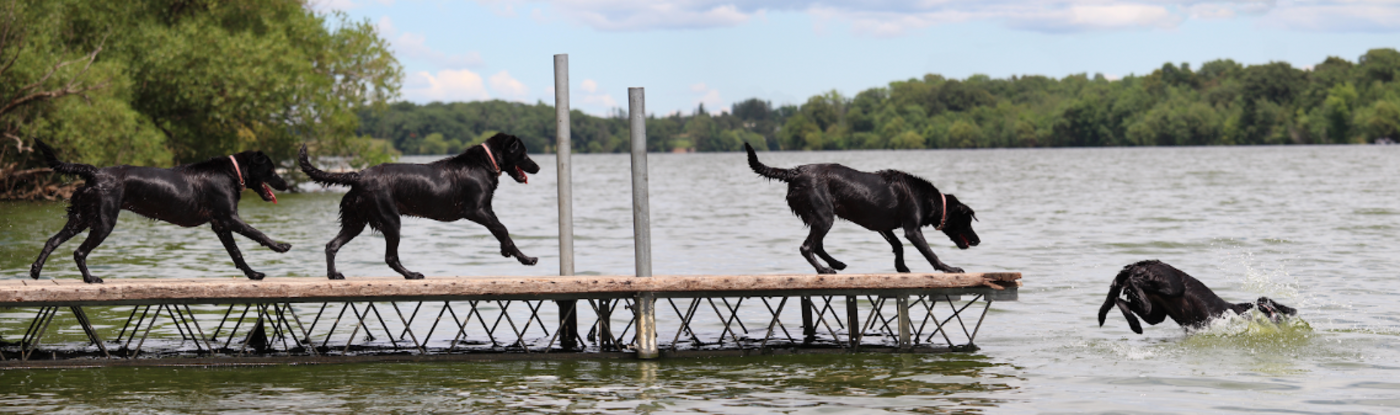 Dogs jumping off a dock