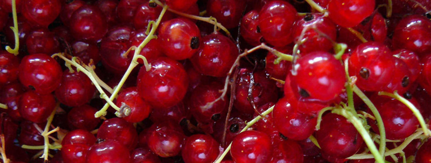 Harvested red currants