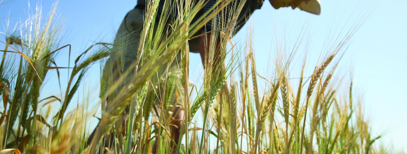man standing in wheat field