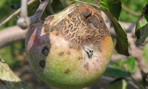 Corky, brown scabs on apple fruit.