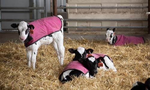 Four calves with pink blankets on in a barn full of hay.