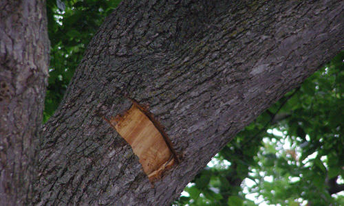 An elm bark with a tiny window cut showing brown streaks in the sapwood