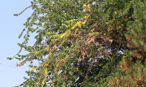 Yellow, brown leaves on an elm tree