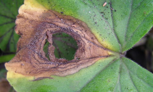 Leaf spot from gray mold.