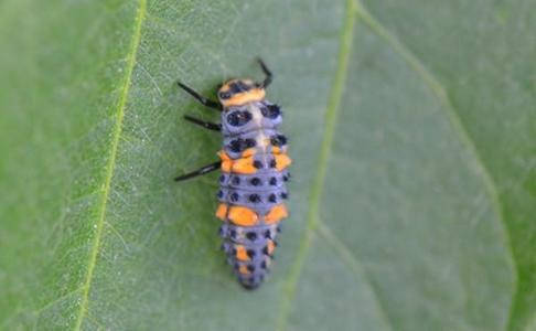 11 segmented blueish gray and orange with black spots and six legs insect.