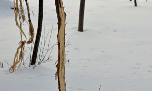 Damage to tree bark from deer rubbing their antlers on them. Snow on ground.