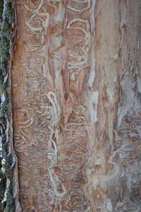 S-shaped damage on tree from emerald ash borer infestation.